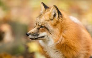 Hintergrundbilder Füchse Starren Bokeh Tiere