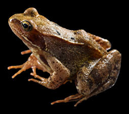 Images Frog Closeup Black background Common Frog