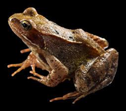 Bilder Frosche Großansicht Schwarzer Hintergrund Common Frog Tiere