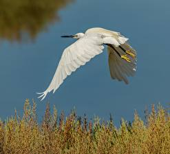 Fotos Reiher Vögel Weiß Flug Tiere
