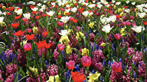 Pictures Hyacinths Daffodils Tulips Multicolor flower