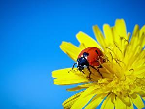 Pictures Ladybird Taraxacum animal