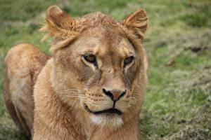 Hintergrundbilder Löwe Löwin Blick Schnauze Tiere