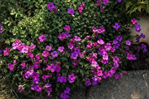 Fotos Viel Violett Aubretia Blüte