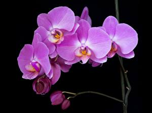 Wallpaper Orchids Black background Flower-bud Violet Flowers