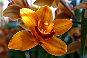 桌面壁纸,,蘭花,特寫,橙色,花卉