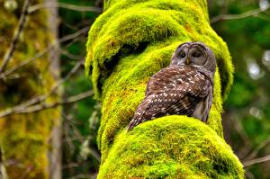 Hintergrundbilder Eule Vogel Laubmoose Spotted owl