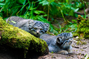Pictures Pallas Cat Cat Stone Two Moss Staring Animals