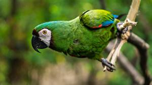 Wallpaper Parrot Bird Closeup Ara (genus) Beak Green animal