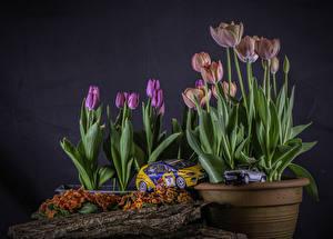 Fotos Schlüsselblumen Tulpen Spielzeug Blumentopf Blüte