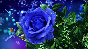 Wallpapers Roses Blue Drops Flowers