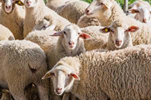 Wallpapers Sheep Herd Animals