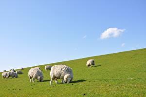 Bureaubladachtergronden Schaap Veel Grasland Gras Een kudde Dieren