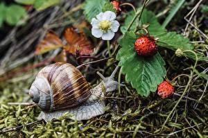Desktop hintergrundbilder Schnecken Hügel-Erdbeere Hautnah Tiere