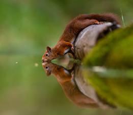 Bilder Eichhörnchen Wasser Trinkt Wasser Reflexion Tiere