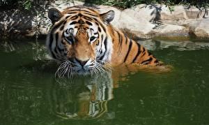 Fotos Tiger Wasser Starren ein Tier