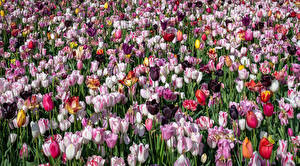 Pictures Tulips Many Multicolor Flowers