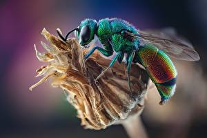Photo Wasp Insects Closeup Stilbum cyanurum