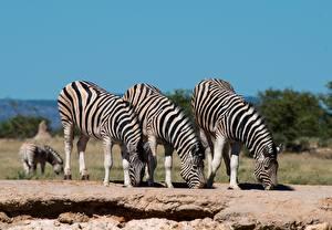 Hintergrundbilder Zebras Drei 3 Trinkt Wasser ein Tier