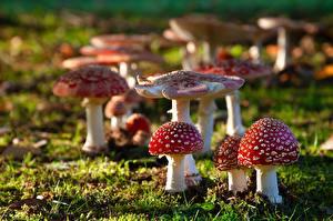 Image Amanita Mushrooms nature Grass Bokeh
