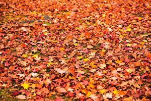 Hintergrundbilder Herbst Textur Viel Ahorn Blatt Natur
