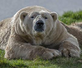 Desktop hintergrundbilder Ein Bär Eisbär Schnauze Pfote Tiere