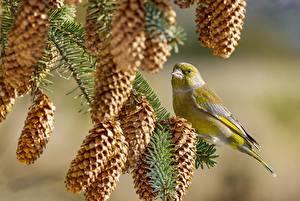 Picture Bird Branches Conifer cone Chloris chloris Animals