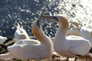 Wallpaper Birds Closeup White Beak Northern Gannet Animals