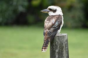 Bilder Vogel Unscharfer Hintergrund Kookaburras