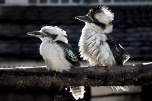 Photo Bird Two Kookaburras Animals