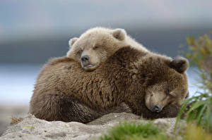 Photo Grizzly Cubs 2 Laying Sleeping Lovely animal