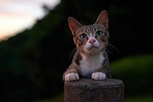 Hintergrundbilder Katzen Starren Pfote