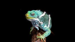 Images Chameleon Paws Staring Black background Lizard Animals