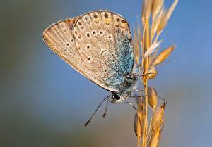 Fotos Großansicht Schmetterlinge Insekten Bokeh Spitze Polyommatus Icarus, Common blue, Female Tiere