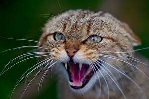 Fotos Großansicht Katze Bokeh Kopf Blick Schnurrhaare Vibrisse Grinsen