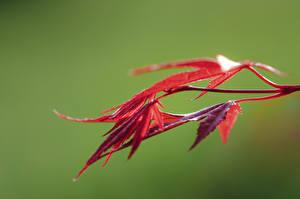 Bakgrundsbilder på skrivbordet Närbild Löv Röd Bokeh Lönnsläktet Natur
