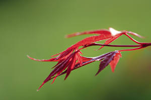 Fotos Großansicht Blattwerk Rot Bokeh Ahorne Natur