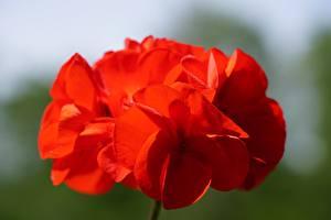 Hintergrundbilder Nahaufnahme Storchschnäbel Rot Bokeh Blüte