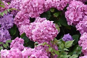 Pictures Closeup Hydrangea Pink color