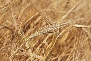 Bakgrundsbilder på skrivbordet Närbild Många Bokeh Öron av korn barley