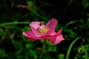 Fotos Hautnah Mohnblumen Bienen Insekten Unscharfer Hintergrund Rosa Farbe Blüte