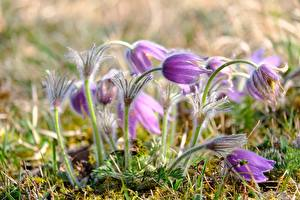 Image Closeup Pasque flower Blurred background Violet
