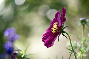 Photo Cosmos plant Closeup Blurred background