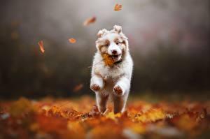 Fotos Hund Herbst Laufen Australian Shepherd Blatt Bokeh  ein Tier
