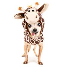 Pictures Dog Kangaroo Clothing White background Chihuahua Uniform animal