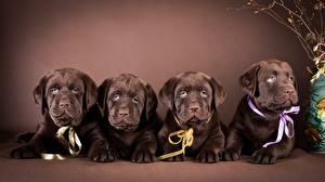 Bilder Hunde Labrador Retriever Welpe Liegen Vier 4