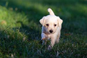 Images Dogs Labrador Retriever Puppy White Grass Blurred background
