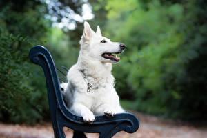 Desktop hintergrundbilder Hund Bank (Möbel) Weiß Shepherd White Swiss Shepherd Dog Tiere