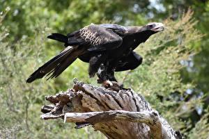 Wallpaper Eagles Bird Black Bokeh Wedge-tailed eagle Animals