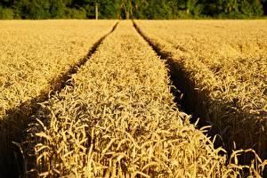 Fotos Acker Weizen Weg Ähren
